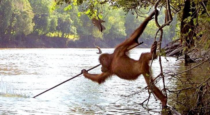 Fotografano un orango-tango che pesca usando una lancia: la realtà supera la fantascienza