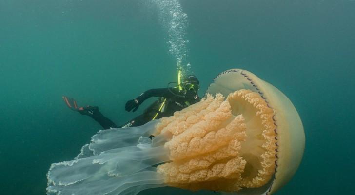 Repérée une méduse géante en Cornouailles : les images de la plongeuse la montrent dans toute sa grandeur