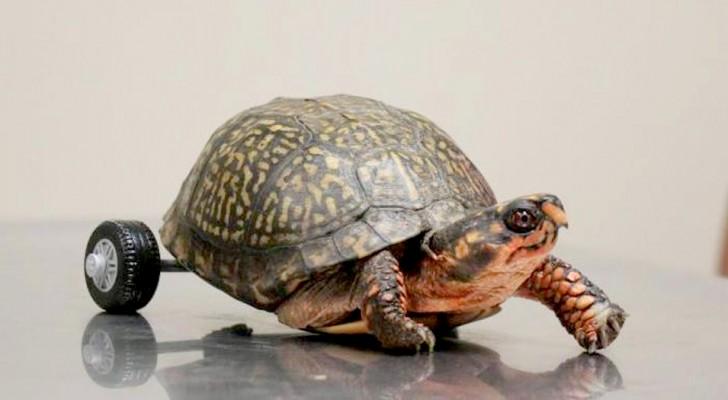 La tartaruga perde la zampa posteriore e i medici escogitano un'idea geniale per farla camminare