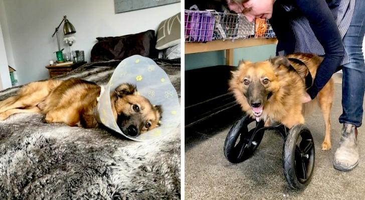 """La storia di True, il cane a cui l'ex proprietario ha tagliato le zampe anteriori per """"punizione"""""""