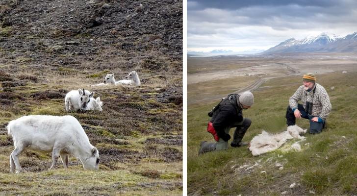 Artico: più di 200 renne e cervi sono morti di fame a causa degli effetti del riscaldamento globale