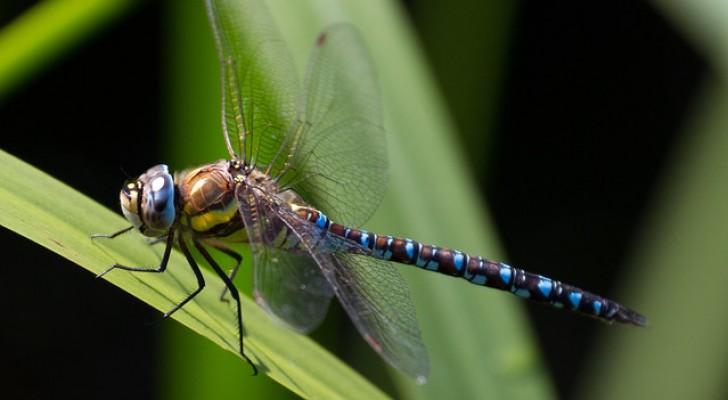 Le femmine di questa libellula fingono la morte per non farsi avvicinare dai maschi