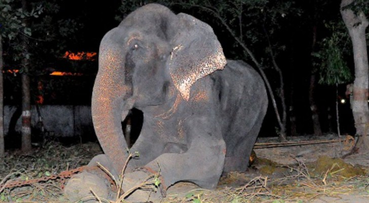 Raju l'éléphant crie sa souffrance après avoir été sauvé de la cruauté humaine