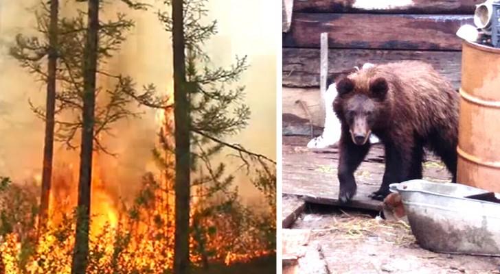 Die stille Katastrophe der Arktis: Verzweifelte Tiere nähern sich den Menschen, um dem Feuer zu entkommen