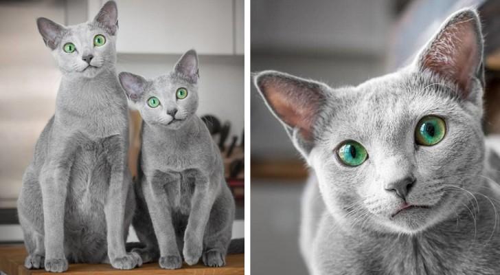 Questi bellissimi gatti Blu di Russia hanno gli occhi più ipnotici che abbiate mai visto