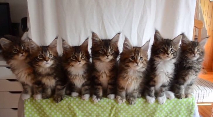 Here's what happens when you test the reflexes of 7 cats at the same time!