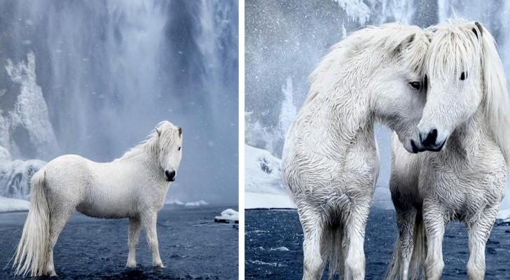 Questo fotografo immortala i cavalli bianchi dell'Islanda in tutto il loro splendore da fiaba