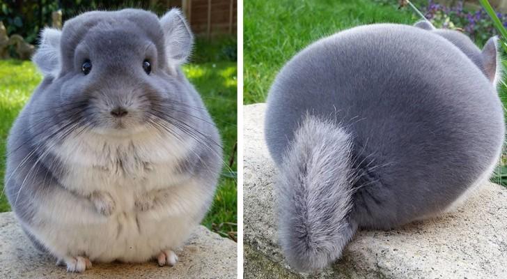 A chinchila: um adorável ratinho doméstico de forma perfeitamente redonda e pelo fofinho