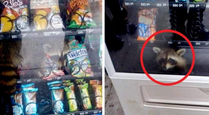 Questo procione è rimasto bloccato in un distributore mentre cercava di