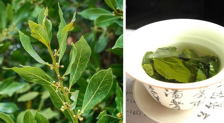 Les incroyables propriétés bénéfiques du laurier : une plante alliée pour notre santé