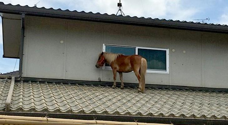 Questo pony è riuscito a salvarsi dall'alluvione arrampicandosi sul tetto di una casa