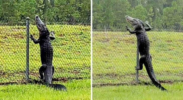 Questo coccodrillo si è arrampicato su un recinto sul ciglio della strada...come se nulla fosse!