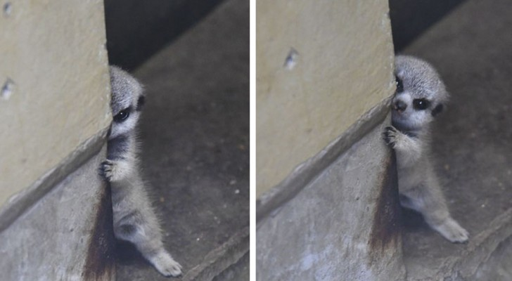 Questo fotografo ha ripreso un adorabile cucciolo di suricato: le sue immagini vi conquisteranno!