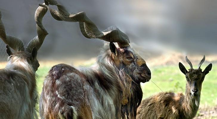 Un cacciatore americano ha pagato 100.000 dollari per abbattere una capra selvatica in via di estinzione