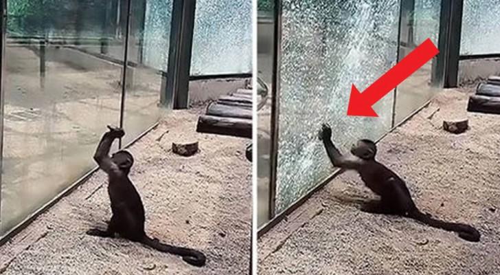En liten apa försöker smita från ett zoo genom att krossa glaset i sin bur - en kamp för frihet som har berört många