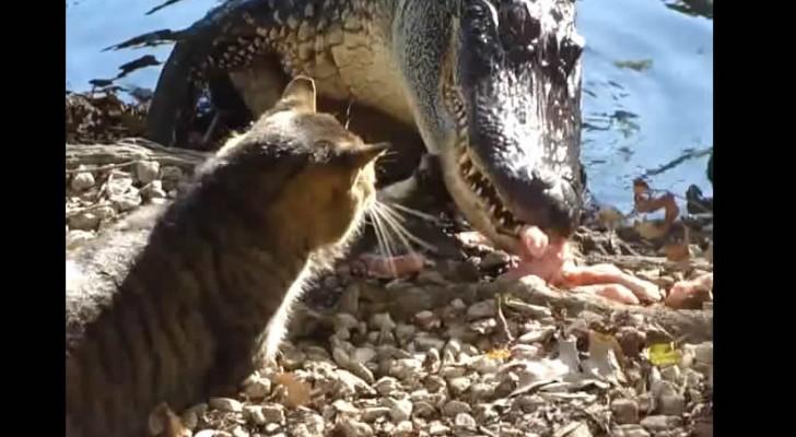 Gatto contro alligatore: chi avrà la meglio?