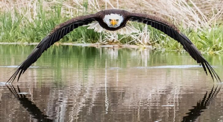 Deze fotograaf heeft de majestueusiteit van de witkopzeearend op een perfecte manier gevangen