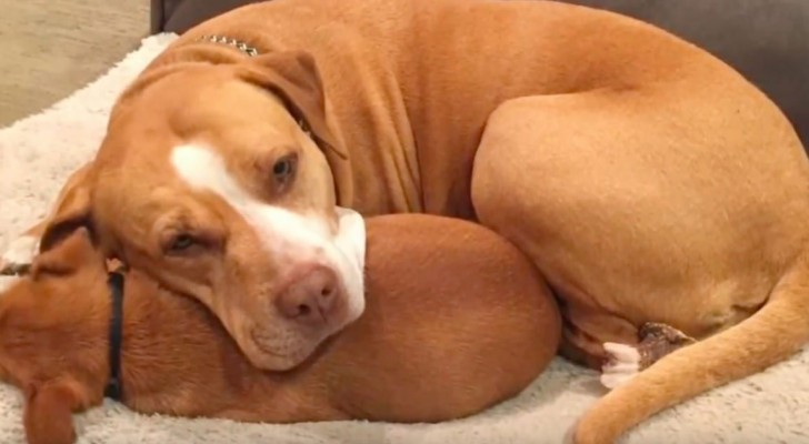 A man wants to adopt a pit bull from an animal shelter but the dog refuses to abandon his best friend