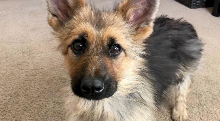 La storia di Ranger, il pastore tedesco affetto da nanismo che rimarrà per sempre cucciolo