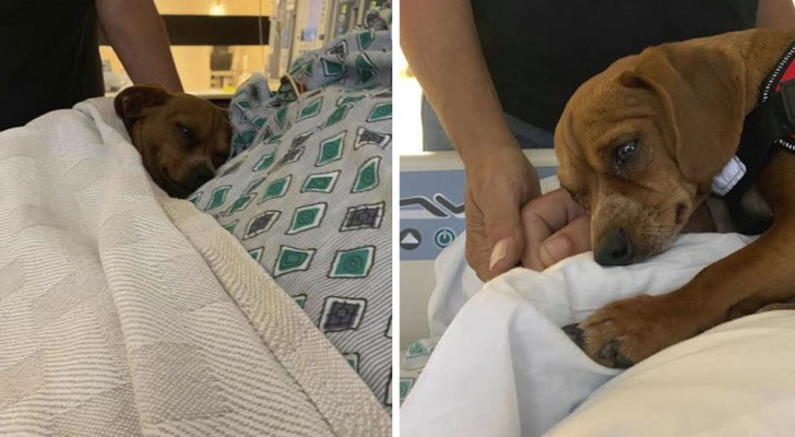 Este dulce perrito se niega a dejar solo en el hospital a su patrón que está cercano a la muerte