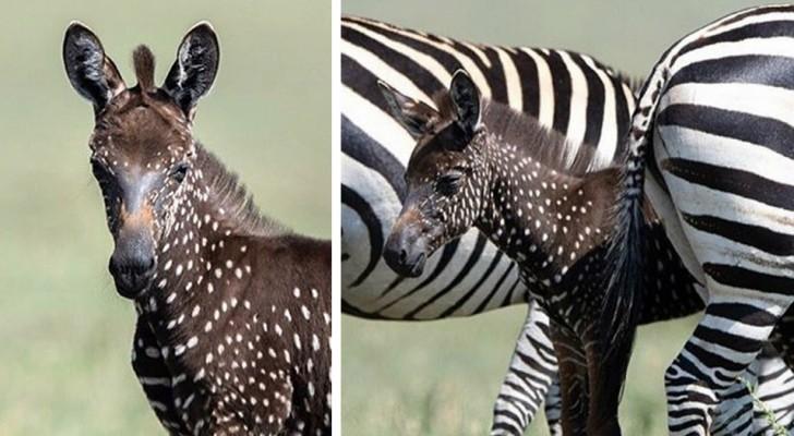 Fotografata in Kenya una spettacolare zebra a pois