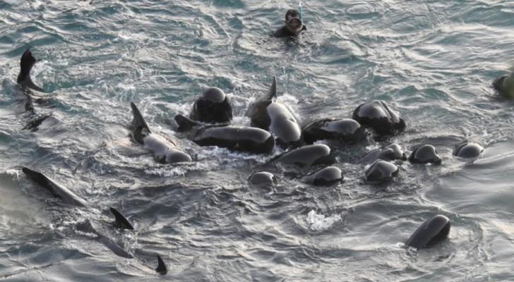 Die letzten Momente einer Familie von Delfinen: Die Mutter schart sie um sich, bevor sie gefangen genommen werden