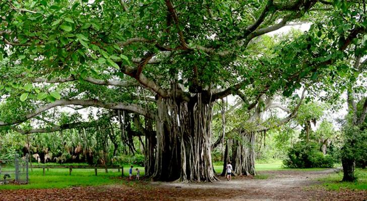 Thimmamma Marrimanu, l'albero più grande del mondo si trova in India