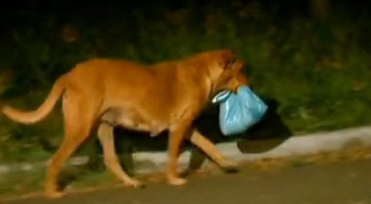 Um cachorro percorre vários quilômetros todas as noites para levar comida para sua família