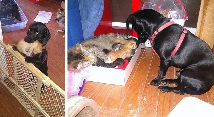 Den här hunden har adopterat 7 kattungar och tar hand om dem som att han var deras pappa