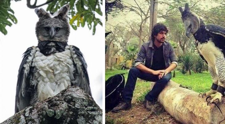 Harpyien: ein riesiger Greifvogel, der aussieht wie ein maskierter Mensch