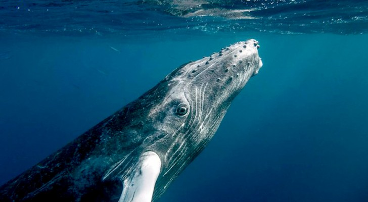 Quando si tratta di ambiente, le balene valgono come l'Amazzonia: possono assorbire il 40% della CO2 del Pianeta