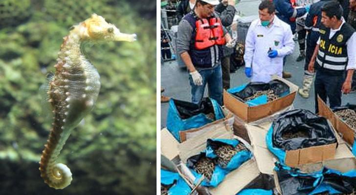 Pérou, saisi un navire avec 12 millions d'hippocampes pêchés illégalement : un butin de 6 millions de dollars