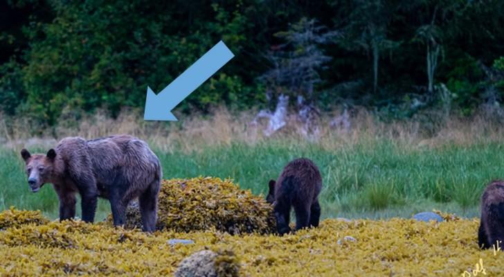 Ondervoede beren: een tekort aan zalm als gevolg van klimaatverandering brengt de voorraad voor de winterslaap in gevaar