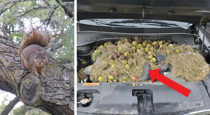 Una pareja encuentra más de 200 nueces escondidas por las ardillas en el capó de su propio SUV