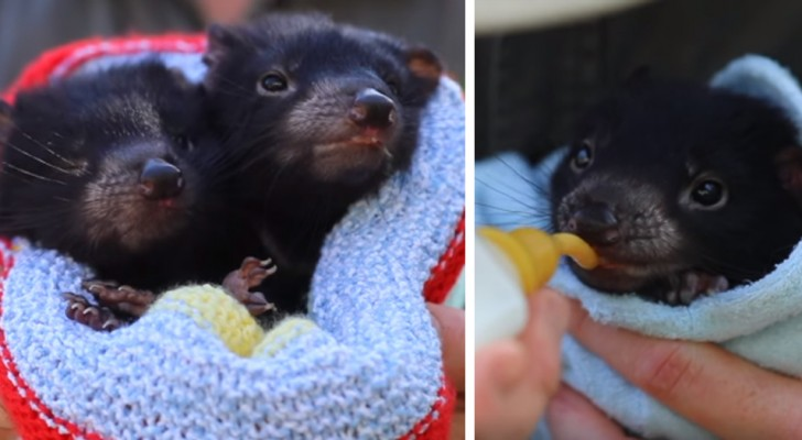 En Australie, 8 individus de diables de Tasmanie sont nés, des animaux en voie d'extinction
