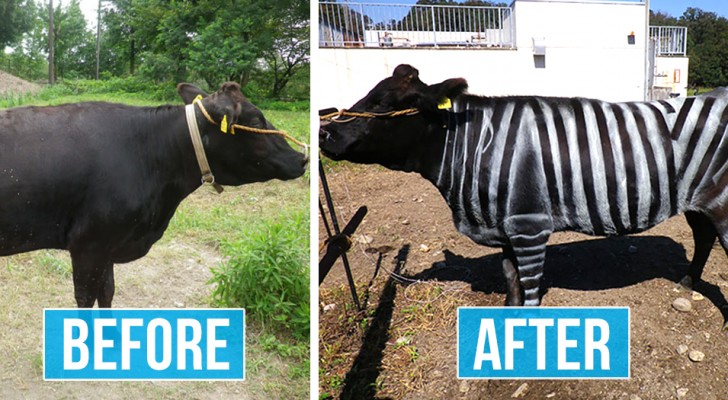 Diese japanischen Wissenschaftler bemalten die Kühe mit Zebrastreifen, um Insekten abzuwehren