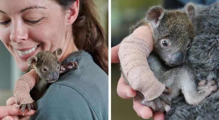 Deze kleine weeskoala werd gered na het breken van een arm toen ze van een boom viel