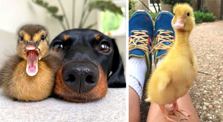 15 simpáticas imágenes que muestran el lado más divertido de los patos