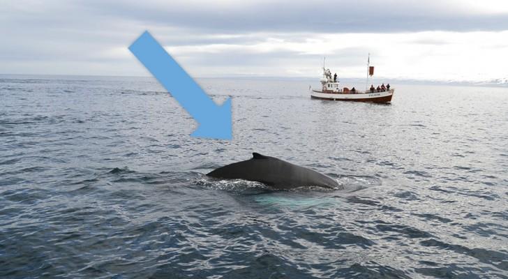 In Islanda, niente più caccia alle balene per il resto dell'anno: è la prima volta in 17 anni