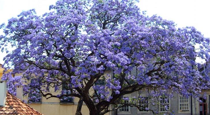 L'arbre Paulownia pousse en un temps record et peut produire jusqu'à 4 fois plus d'oxygène que les autres