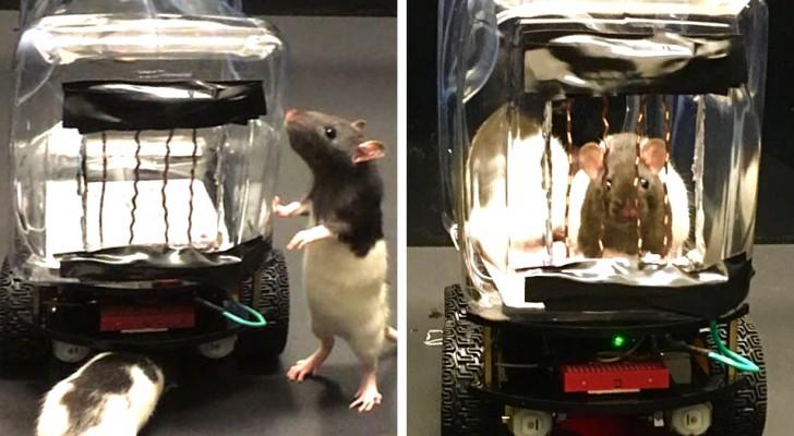 Gli scienziati insegnano ai topi a guidare delle piccole auto: un filmato mostra le loro abilità