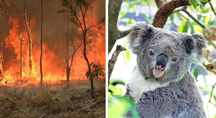 In Australia decine di roghi boschivi avrebbero causato la morte di centinaia di koala
