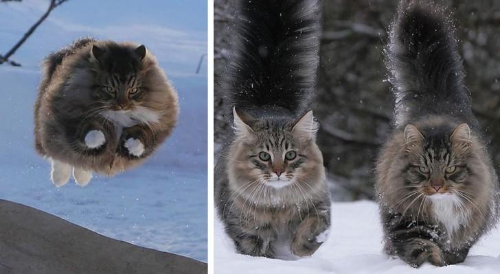 20 foto di gatti che non hanno alcun problema a sopravvivere tra le nevi