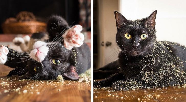 Gli scienziati provano a spiegare i motivi per cui l'erba gatta fa inebriare i nostri amati felini