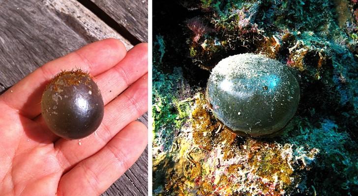 Dit bolvormige wezen is een van de grootste eencellige organismen en leeft in de diepten van de oceanen