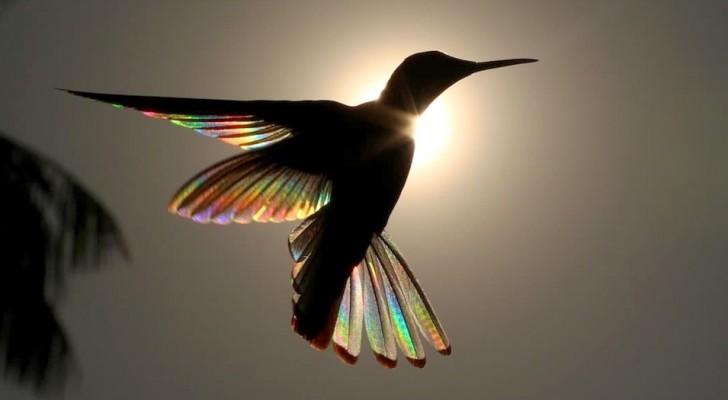 Deze fotograaf heeft de kleuren van de regenboog gevangen in de gespreide vleugels van een zwarte kolibrie in Brazilië