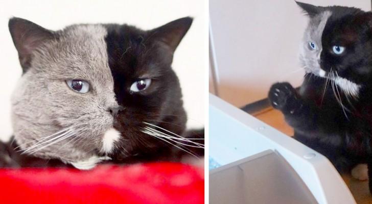 Se chama Narnia e é um gato com quimerismo: uma metade exata de seu corpo é preta e a outra é cinza