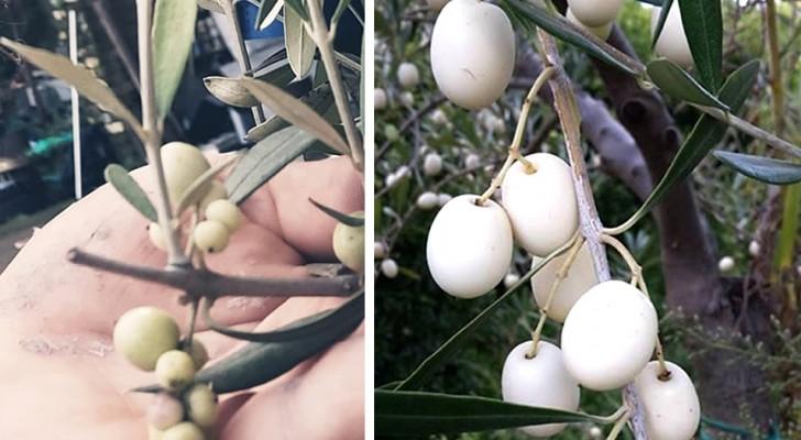 L'oliva bianca: varietà dalle origini antichissime che sta tornando nelle colture italiane