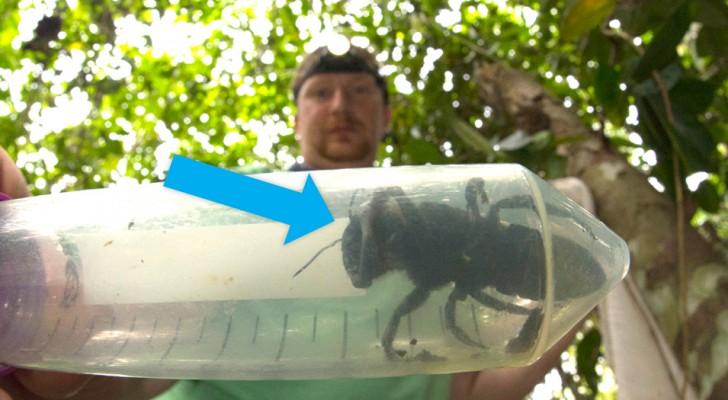 Sie galt als ausgestorben, aber die größte Biene der Welt wurde 38 Jahre nach ihrem Verschwinden lebend gefunden