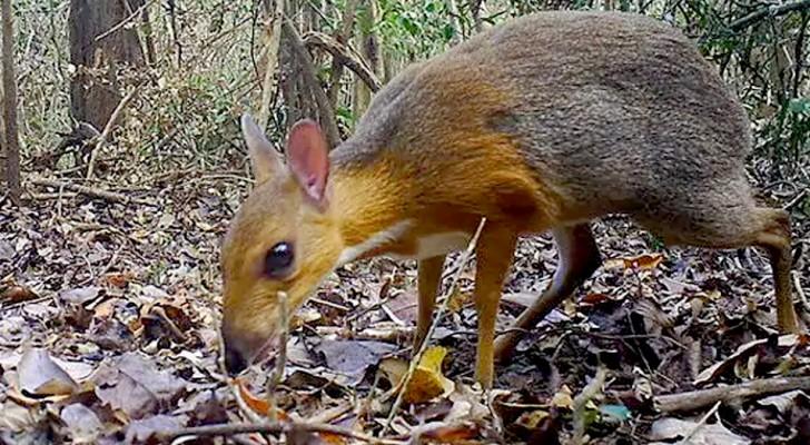 In einem Wald in Vietnam wurde ein sehr seltenes Exemplar eines Maushirsches fotografiert, das seit 30 Jahren als ausgestorben gilt